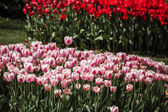 Red and mix of red and white Tulips — Stock Photo