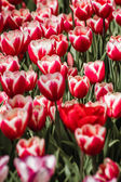 Mix of Red and White Colored Tulips  — 图库照片