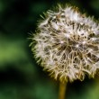 Tiny Spring Dandelion — Stock Photo #42840731
