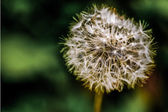 Tiny Spring Dandelion — Stock Photo