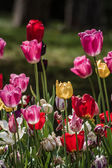 Beautiful Colorful Tulips at a Green Garden of Istanbul — Stock Photo