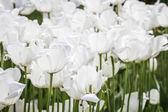 Vita tulpaner på en grön trädgård i istanbul — Stockfoto