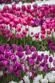 Vackra färgglada tulpaner på en grön trädgård i istanbul — Stockfoto