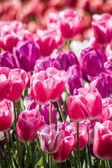 Hermosos tulipanes coloridos en un jardín verde de estambul — Foto de Stock