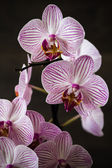 Pink Stripes on White Orchid — Foto de Stock