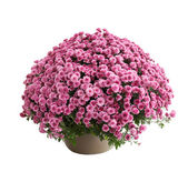 Chrysanthemum Belgo Lilac — Stock Photo
