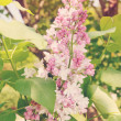 Stock Photo: Blooming lilac bush, tinted
