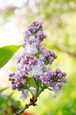 Lilás lindo — Foto Stock