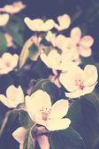 Blooming quince bush, retro — Stock Photo