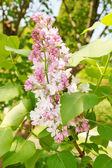 Buisson de lilas en fleurs — Photo