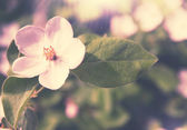 Blooming quince,tinted — Stock Photo