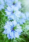 Centaurea flor azul — Foto Stock