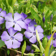 Periwinkle Vinca — Stock Photo