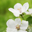Quince bush in the garden - Stock Photo