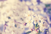 Spring cherry, tinted — Stock Photo