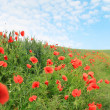 Field of red poppies - Foto de Stock