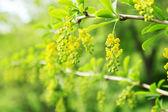 Blooming yellow bush — Stock Photo