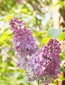 Lilac bush in the garden — Stock Photo