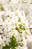 Spring cherry — Stock Photo