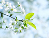 Cherry flowers, tinted — Stock Photo