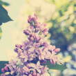 Stock Photo: Blooming lilac, tinted