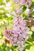 Bloom luxuriante — Foto Stock