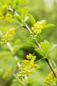 Belo arbusto — Foto Stock