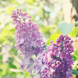 Stock Photo: Lilac bush in garden,tinted