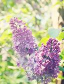 Lilac bush in the garden,tinted — Stock Photo