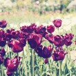 Stock Photo: Dark vinous tulips