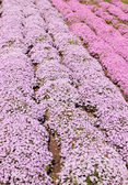 Purple phlox subulate — ストック写真