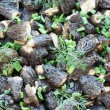 Fried morels background - Stock Photo