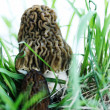 Stock Photo: Morels in grass