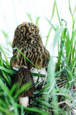 Morels in the grass — Stock Photo