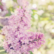 Blooming lilac, tinted — Stock Photo #44571365