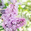 Blooming lilac branch — Stock Photo