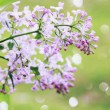 Wild lilac branch — Stock Photo #44573675