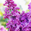 Blossoming branch of lilac — Stock Photo