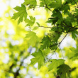 Постер, плакат: Foliage on maple