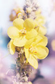 Mullein tinted — Stock Photo