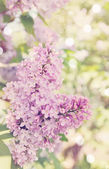 Blooming lilac, tinted — Stock Photo