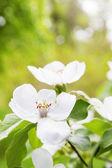 Blumen-quitte — Stockfoto