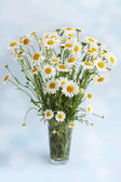 White daisies on a blue background — Stockfoto