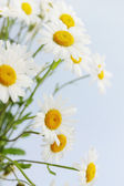 White daisies — Foto Stock
