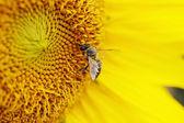 Bee takes pollen — Stock Photo