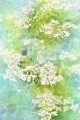 White flowers cilantro, tinted — Stock Photo