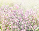 Flowering thyme, tinted — Photo