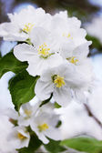 Blossoming apple tree branch — Stock Photo