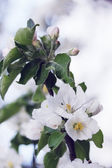 Blossoming apple tree — Stock Photo