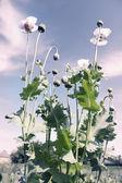 白色罂粟 — 图库照片